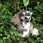 le lémur catta assis au soleil
