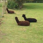 Brown Alpacas