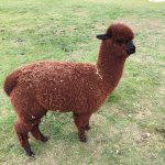 A year old brown Alpaca