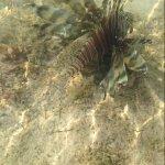pesce scorpione o leone