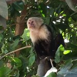 White Faced Monkey close to Boat