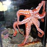 Octopus at Alaska Sea Life Center
