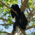 Howler Monkey Chillin!