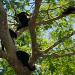 More Howler Monkeys