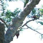 Scarlet Macaws - crappy photo...they were far away, our boat was vibrating & gone in a flash.