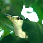 Night Heron tucked in the bushes.