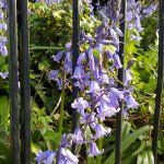 Spring flowers in Regent's park