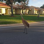 Sandhill cranes dropped by