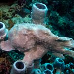 Frog Fish on Coral