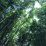 looking up from all the bamboo trees