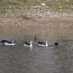 Black bucks, ducks, owl n owlets