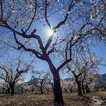 Almond Blossom of Alcalali