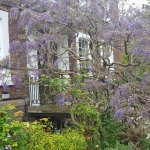 Wisteria at Burgh House
