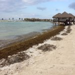 The sad beach during the April 2017 sargassum infestation