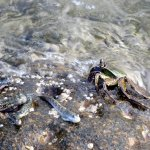 Mudskippers and crab on the rocky shores