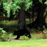 Moma and her cub, in the Hitching Post garden