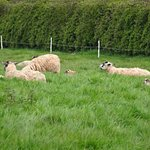 Sheep in a nearby field with their lambs.