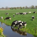 Happy cows in the green fields