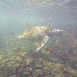 Tortuga marina,  que esta en lo suyo. No le preocupa la presencia de humanos, tampoco se acerca.