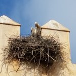 One of many stork nests in Morocco