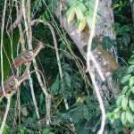 pair of nesting Hoatzin birds
