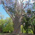 Giant eucalyptus.