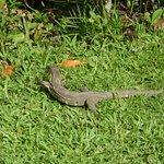 Monitor lizard (photo taken from my balcony)
