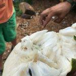 Guanabana (soursop). WOW! What an incredible fruit!