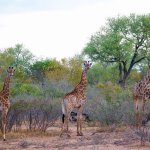 We met some beautiful giraffes in the park behind the lodge