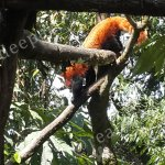 Red Pandas in Darjeeling Zoo