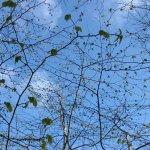 Nyudsprungne spæde blade en smuk forårsdag