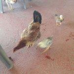On mange au milieu des poules et des poussins