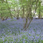 Bluebells in little mix wood, Hatchlands Park, Surrey 22/4/17