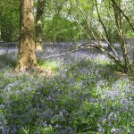 Bluebells in Spring 2017