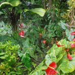 anthuriums and others