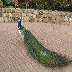 Peacock in the park/ pavo real en el parque