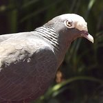 White crowned pigeon in the aviary.