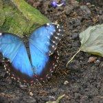 Blue Morpho Butterfly - Butterfly Pavilion