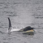 Male Southern Resident Orca spotted on San Juan Safaris Tour.