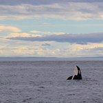 Sunset Southern Resident Orca spyhop