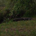 Alligator in the nature sanctuary