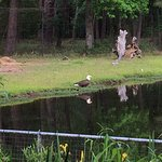 Wild bald eagle - not in aviary