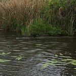 Alligator in the river