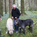 Irish Wolfhounds - morning walk