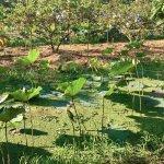 Sookjai Organic Farm Tour - Lotus in bloom