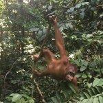 Sepilok Orangutan Sanctuary Foto