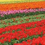 Champs de tulipes à quelques minutes de l'hôtel
