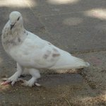 a dove with feathery legs at Waterkant