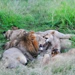 Lions feeding on kill