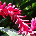 une parmi les très belles fleurs du jardin botanique de Deshaies